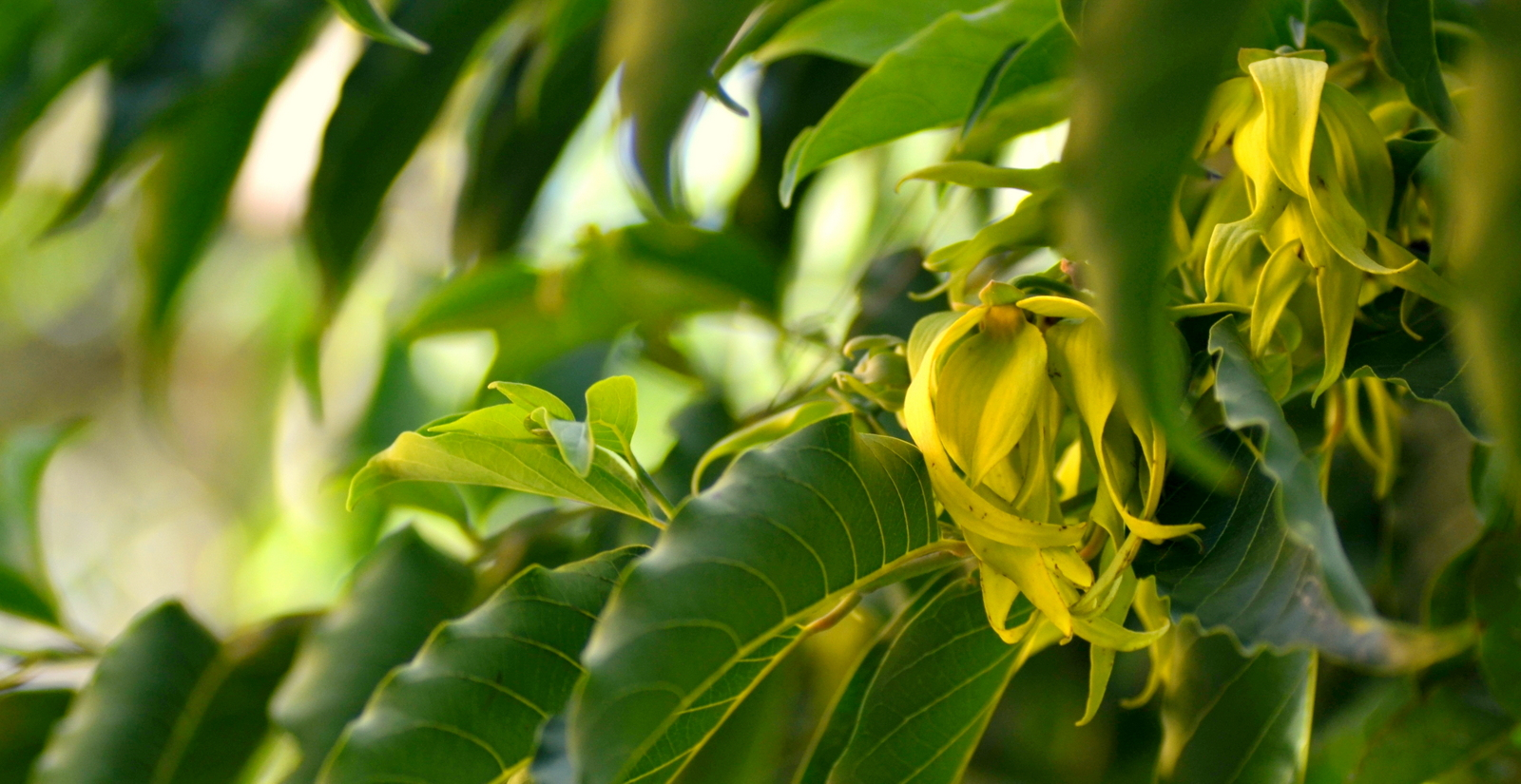 Dictionnaire huiles essentielles dictionnaire huiles for Plante ylang ylang